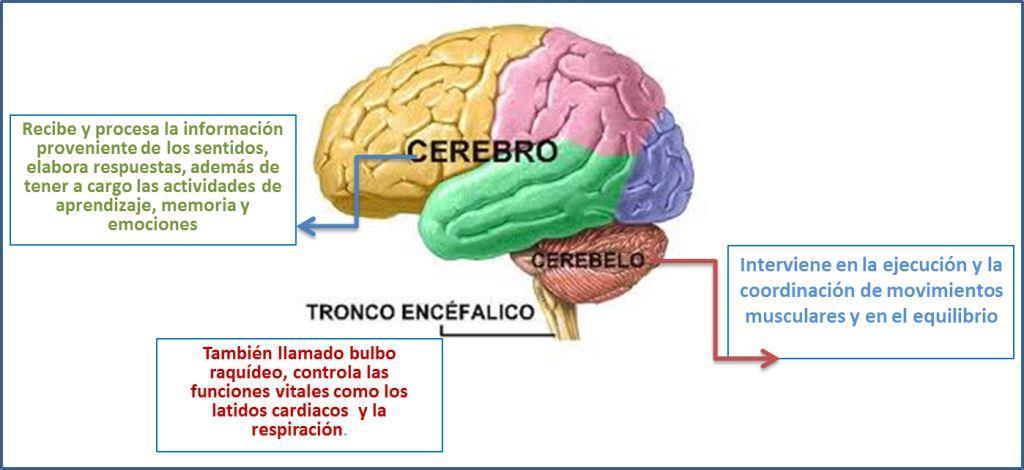 Sistema Nervioso - Investiciencias.com